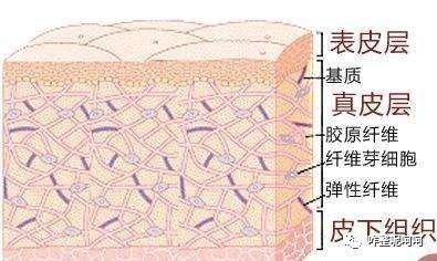 皮肤的结构示意图