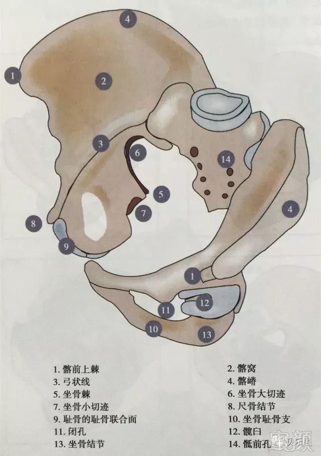 作为固定点用于描述其他解剖结构相对位置,是各种整形手术治疗盆腔