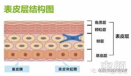 表皮層結構圖(下)