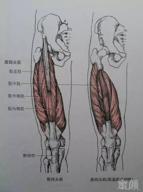 大腿结构图片名称